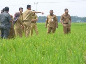 Bersempena Kunjungan Menristekdikti, Sekda Kampar Tinjau Lokasi Pertanian