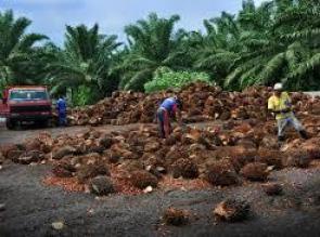 Harga Sawit di Riau Rp1.906,53 per Kg Naik Pekan ini