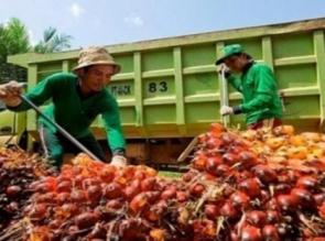 Berikut Harga TBS Riau Pekan Ini