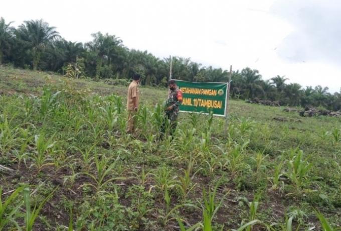 Babinsa Bersama Petugas Penyuluh Lapangan Tinjau Langsung Pertumbuhan Tanaman Jagung