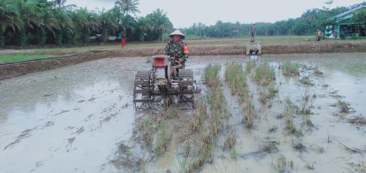 Dalam Rangka meningkatkan Ketahanan Pangan, Babinsa Koramil 02/Rambah Kodim 0313/KPR Turun Kesawah