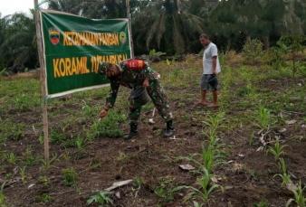 Petani Dan Babinsa Di Tambusai Utara Intensif Periksa Perkembangan Tanaman Jagung