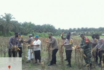 Babinsa Koramil 04/Pkl Kuras Bersama Anggota Polsek Dampingi Petani Panen Jagung